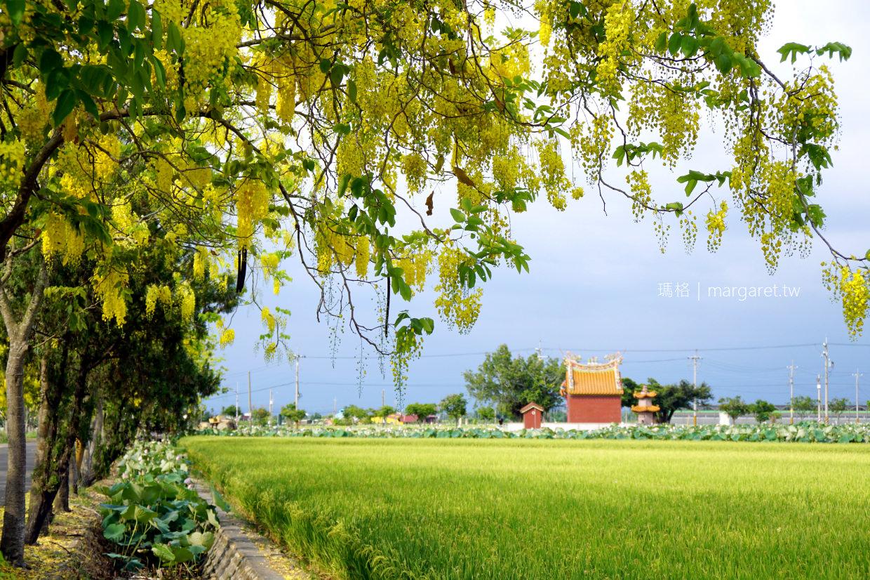 阿勃勒大道。台南白河|黃金雨、荷花、稻田同框美景