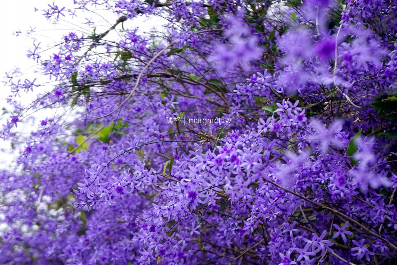 最新推播訊息:中寮錫葉藤紫花開了,整片花牆被媒體形容「南投紫爆」