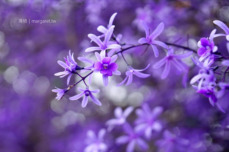 三月天。南投中寮錫葉藤開花了|六七一茶花園。浪漫紫色花牆