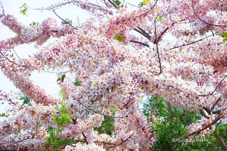花旗木。三月盛開的泰國櫻花|南投集集私房景點