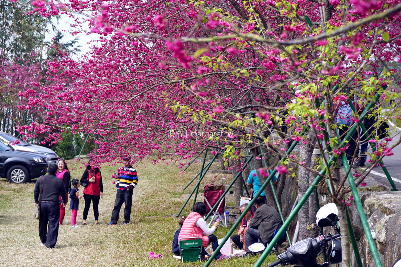 阿里山森林遊樂區走春|櫻花、神木、日出、森林小火車|大眾運輸交通、行程、住宿建議