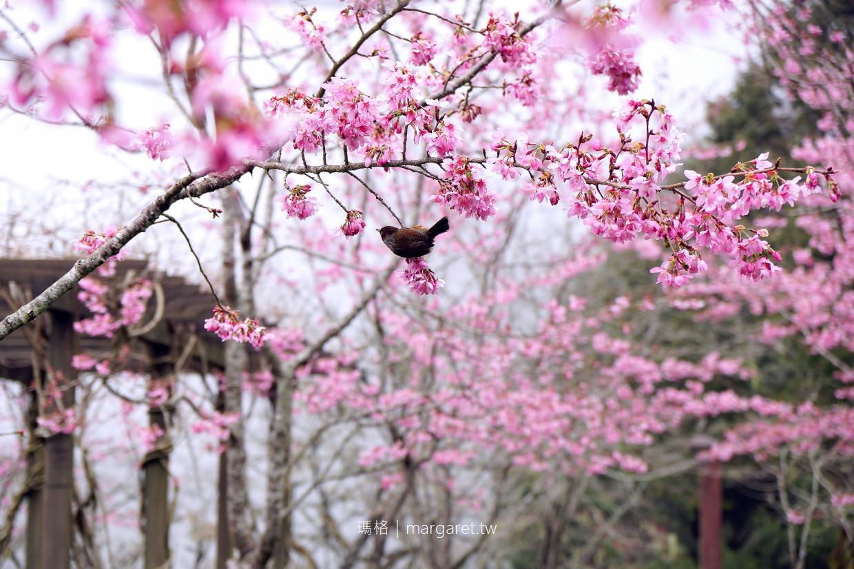 阿里山櫻花季。森林遊樂區走春|神木、日出、森林小火車|交通、行程、住宿