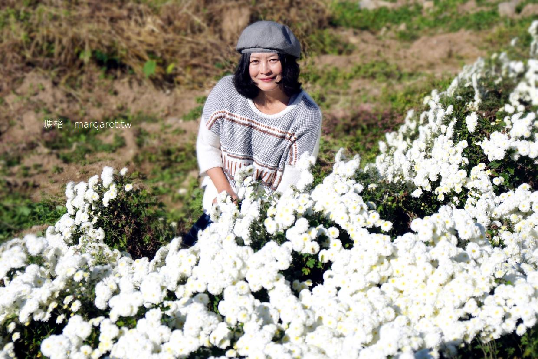 熊本凍齡之花。走訪不知火菊故鄉|費時3年復育。傳說中菊花界的人蔘