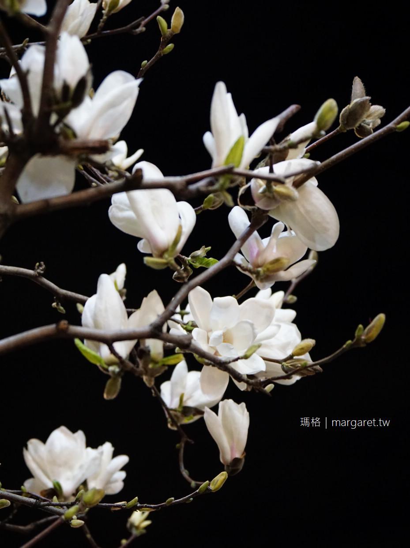 東京賞櫻另一章。氣韻高雅木蘭花|押上、日本橋街頭