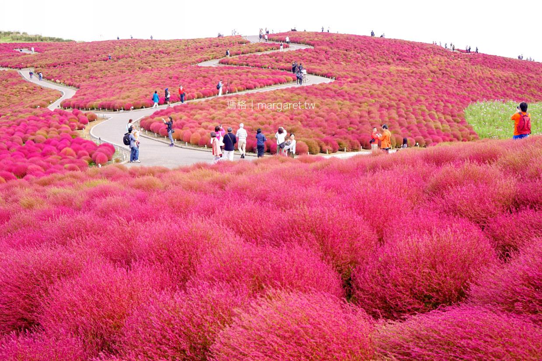 掃帚草嘉年華10月限定。茨城常陸海濱公園|東京近郊紅葉景點