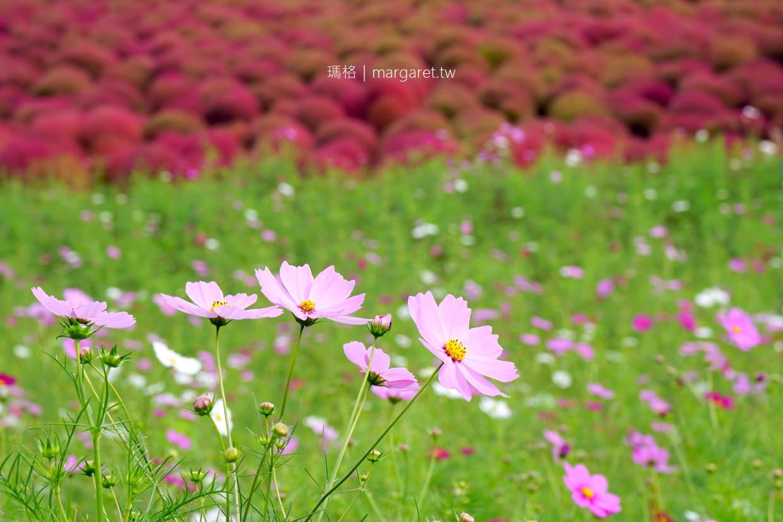 掃帚草嘉年華2019。多達32000株盛況空前|茨城常陸海濱公園。東京近郊紅葉景點