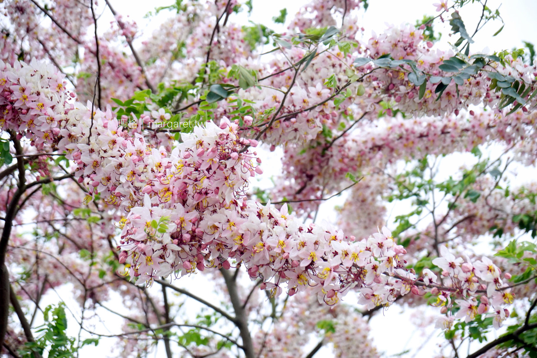 最新推播訊息:台東鹿野鄉公所花旗木盛開。平地櫻花點綴山林新春綠意