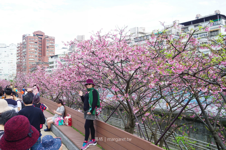 樂活公園八重櫻盛開。台北內湖賞櫻景點|2021樂活夜櫻季。2/15實訪花況