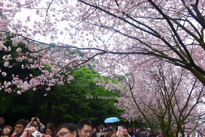 淡水天元宮。新北市賞櫻景點|跟台灣山櫻結婚的吉野櫻